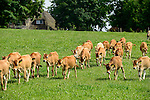 DEUTSCHLAND, , Versuchsgut Lindhof der UNI Kiel, Forschungsschwerpunkt ökologischer Landbau und extensive Landnutzungssysteme, Erforschung optimale Weidehaltung von Milchkuehen, z.Z. Jersey Kuehe, Jungtiere