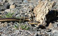 Snake - Garter