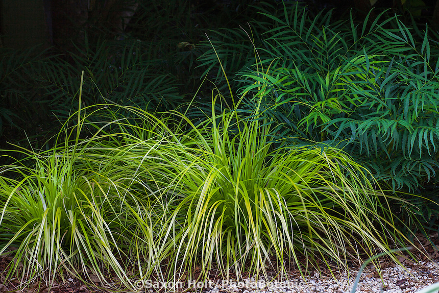 Carex 'Everillo' Chartreuse foliage ornamental grass in garden with Mahonia 'Soft Caress'; Sunset Western Garden Collection