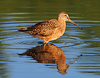 Long-billed dowitcher in spring plumage