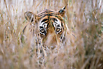 Close-up of tiger in tall grass, Ranthambore National Park, India