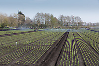 Irrigating lettuce in the Cambridgeshire Fens<br /> Picture Tim Scrivener 07850 303986