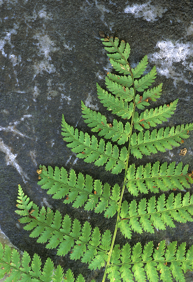 Green fern frond on black granite, Green Mountains National Forest, Vermont