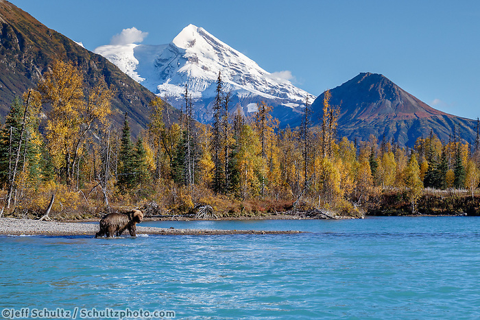 Fall landscape of a grizzly bear in Crescent Lake in Lake Clark National Park with Mt. Redoubt volcano in the backgound.   2016 Alaska Bears, Glaciers and Fall Colors photo workshop and tour with Jeff Schultz<br /> <br /> Photo by Jeff Schultz/SchultzPhoto.com  (C) 2016  ALL RIGHTS RESVERVED
