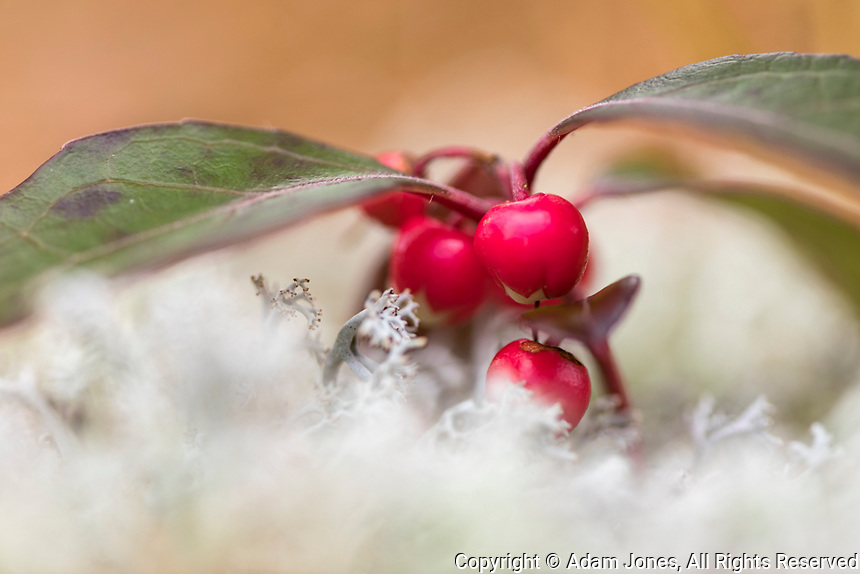American Wintergreen, an edible wild plant, Upper Peninsula, Pictured Rocks National Lakeshore, Michigan, (Gaultheria procumbent)