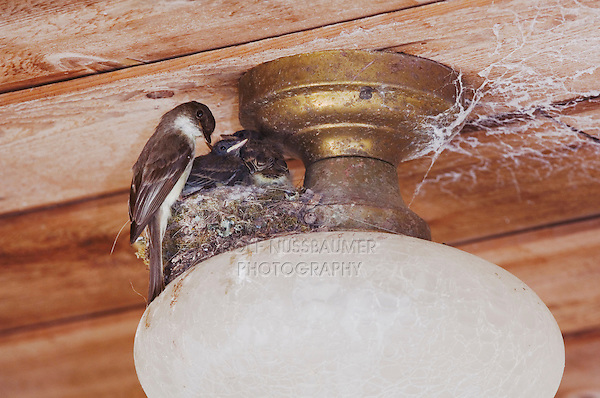 Eastern Phoebe, Sayornis phoebe, adult with young in nest on light, Hill Country, Texas, USA