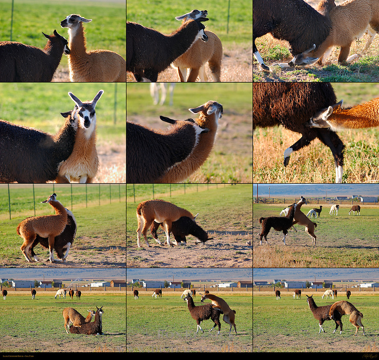 Llama Courtship Ritual, Loa, Utah, Approach, Acknowledgement, Strength Test, Female Bites Male, Male Bites Female, Display, Mounting, Denouement