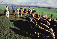 A line of paniolos (Hawaiian cowboys) on horseback, with cattle in the foreground, Parker Ranch, Waimea (Kamuela)