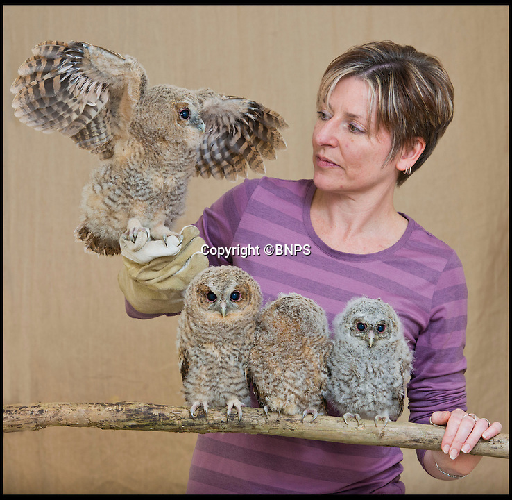BNPS.co.uk (01202 558833)<br /> Pic: RachelAdams/BNPS<br /> <br /> Head rescuer Sarah Boswell.<br /> <br /> A flock of adorable baby owls are being hand-reared after they were blown off their perches by unseasonally high winds.<br /> <br /> The group of four Tawny owls are so young they should be near the nest with their family, but they were instead found flapping about on the ground.<br /> <br /> The creatures are aged between 15 and 30 days old and are too small to be able to fly or climb back up to their mothers.<br /> <br /> Volunteers at the nearby Dorset Wildlife Rescue in Lytchett Matravers near Poole, who are now looking after the birds were alerted to there where a bouts by concerned members of the public.<br /> <br /> Chris Easton, owner of the centre, is feeding them mice and chicks and even showing them how to fly by encouraging them to hop from his hand to a perch.