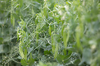 Peas <br /> ©Tim Scrivener Photographer 07850 303986<br />      ....Covering Agriculture In The UK....