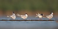 Four Forster's Terns preening on a log (Sterna forsteri), East Pond, Jamaica Bay Wildlife Refuge