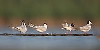 Four Forster's Terns preening on a log (Sterna forsteri), East Pond, Jamaica Bay Wildlife Refuge
