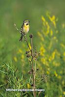 01542-00820 Dickcissel (Spiza americana) male in prairie Marion Co.   IL