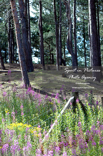 Stands of Corsican and Scots pine forest with Common Ragwort and Purple Loosestrife