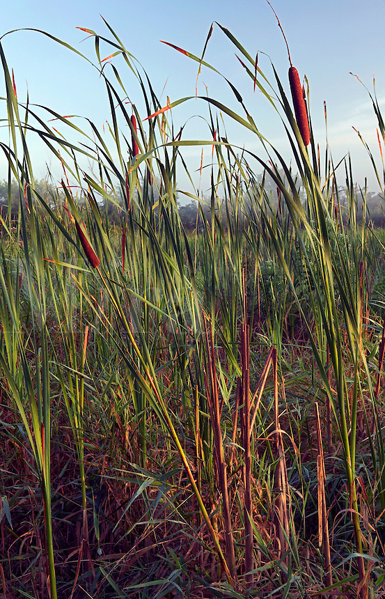 Cattails, Blue Lake Wildlife Area, Monona County, Iowa