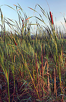 Cattails, Blue Lake Wildlife Area, Monona County, Iowa