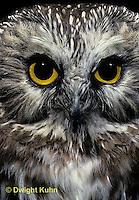 OW02-077d  Saw-whet owl - Aegolius acadicus