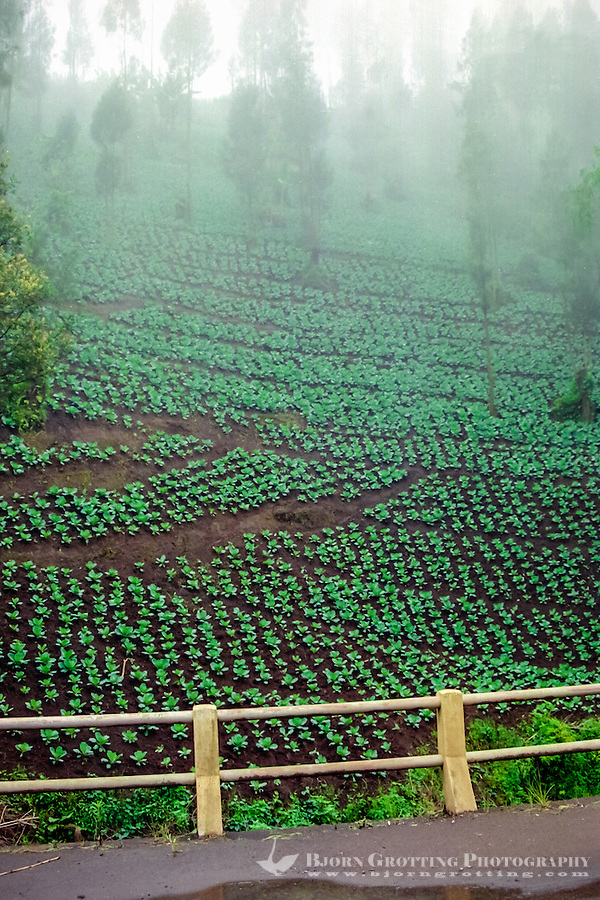 Java, East Java, Bromo Tengger. Cauliflower plantation beneath Mount Bromo.