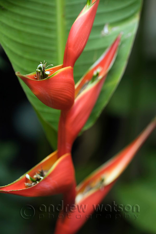 Heliconia bloom at the Daintree Eco Lodge and Spa.  Daintree, Queensland, Australia