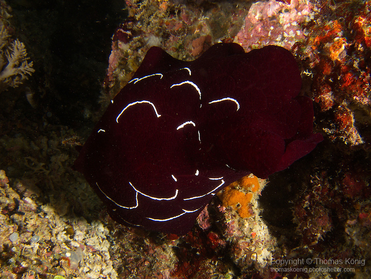 Apo Reef, Sulu Sea -- Forskal's pleurobranch, a sidegill sea slug, on a night dive.<br />