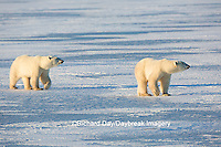 01874-14108 Polar Bears (Ursus maritimus)  in Churchill Wildlife Management Area, Churchill, MB Canada