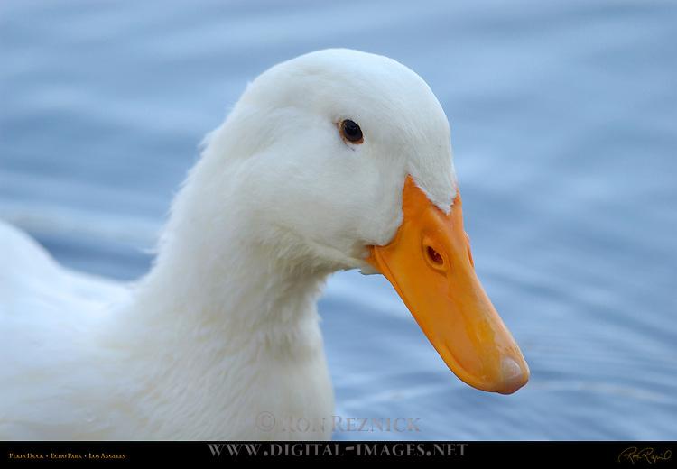 Pekin Duck Portrait, Echo Park, Los Angeles, California