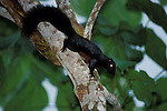 Prevost s Squirrel, Callosciurus prevostii pluto, Danuum Valley, Sabah, on tree trunk.Borneo....