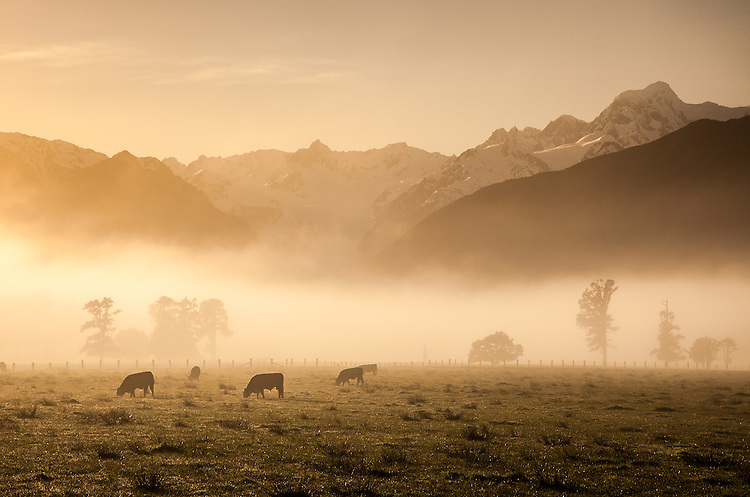 Cows graze on a misty morning with mountains in the distance, Fox Glacier Flats, South Westland, New Zealand - stock photo, canvas, fine art print