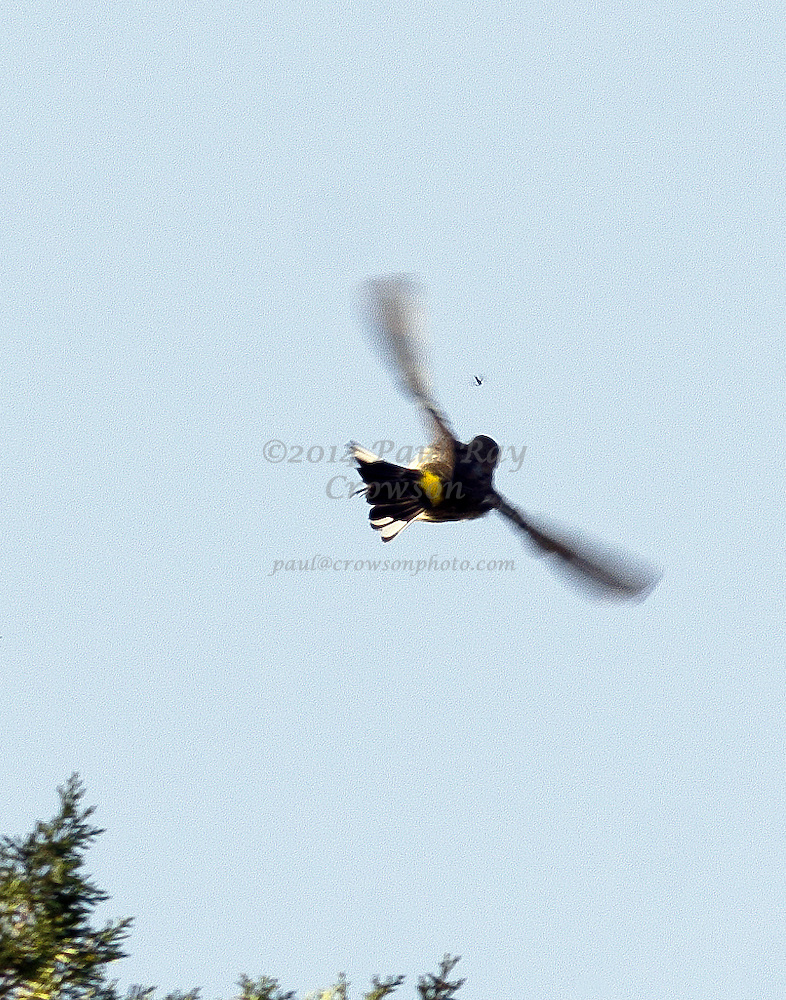 Yellow-rumped Myrtle Warbler Flying, Chasing Insect