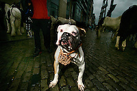 Stafford Terrier for sale for 1000 euros at the Smithfield Horse market.<br /> The monthly Smithfield Horse market is one of Dublin&rsquo;s oldest traditions. It is a place where kids from deprived areas of the city buy and sell horses. In recent years the Smithfield area has been redeveloped which creates a striking contrast to the horsemarket, The introduction of The Control of Horses Act has effectively outlawed these kids, and the closure of the market is a real possibility.<br /> <br /> Pictures James Horan