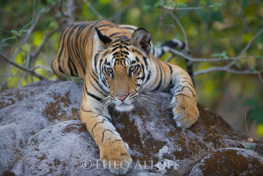 17 months old Bengal tiger cub lying on rock,  early morning, dry season