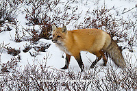 01871-02815 Red Fox (Vulpes vulpes) in snow in winter, Churchill Wildlife Management Area, Churchill, MB Canada