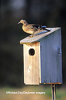 00715-071.09 Wood Duck (Aix sponsa) female on nest box in wetland  Marion Co.  IL