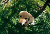 Golden retriever puppy tied to a tree, looking up at viewer and shot through a fisheye lens.