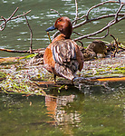 Cinnamon Teal Ducks are sometimes seen in Yellowstone.