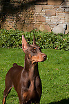 Doberman Pinscher<br />