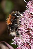 Baumhummel, Baum-Hummel, Königin beim Blütenbesuch auf Pestwurz, Bombus hypnorum, Pyrobombus hypnorum ericetorum, Psithyrus hypnorum, new garden bumblebee, tree bumblebee, bumble-bee
