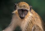 Vervet Monkey, Cercopithecus aethiops, West Africa