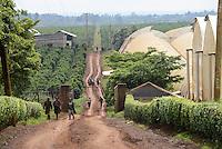 KENYA Thika near Nairobi, Simbi Roses is a fair trade rose flower farm which produces rose as cutting flowers for export to europe, behind fields with coffee plants / KENIA Thika bei Nairobi, Simbi Roses ist eine fairtrade zertifizierte Blumenfarm die Rosen fuer den Export nach Europa anbauen, Hintergrund Kaffee Plantage