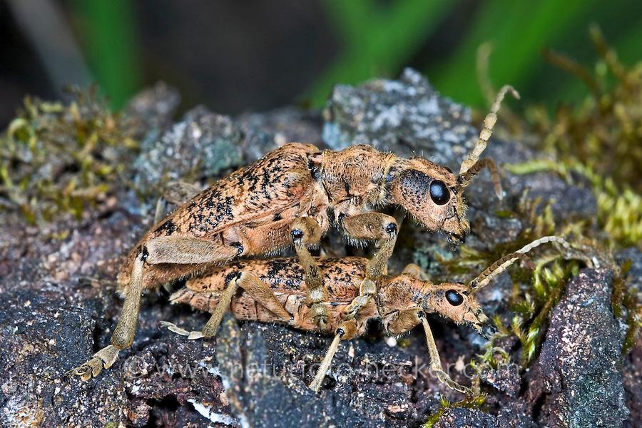 Eichenzangenbock, Eichen-Zangenbock, Großer Zangenbock, Paarung, Kopulation, Großer Laubholz-Zangenbock, Laubholzzangenbock, Pinchbuck, Rhagium sycophanta, Longhorn Beetle, pairing, copulation
