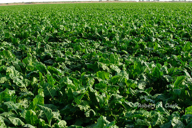 Sugar Beet fields in the Imperial Valley, CA