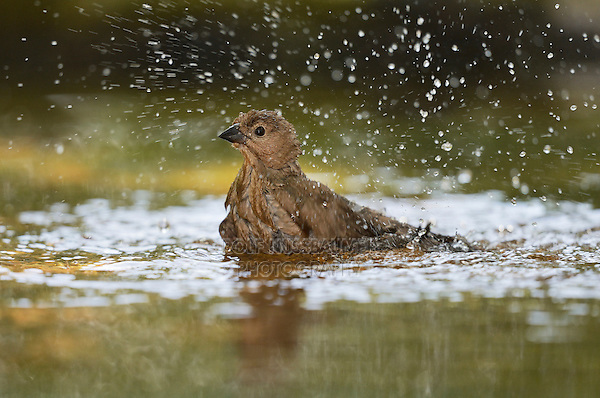 Brown-headed Cowbird (Molothrus ater), adult female bathing, Hill Country, Texas, USA