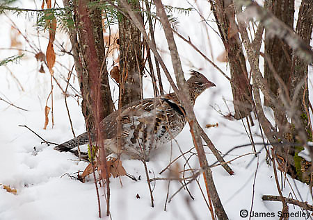 Ruffed grouse on the snowy ground.