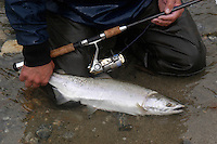 Wrangell, Alaska stream fishing for Cutthroat, Dolly Varden, Chum salmon, Pink salmon.  A pink salmon caught on spinning geart.