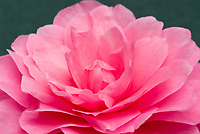 Camellia x williamsii Waterlily, formal double pink flower