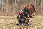 Male eastern wild turkey displaying in a northern Wisconsin field.