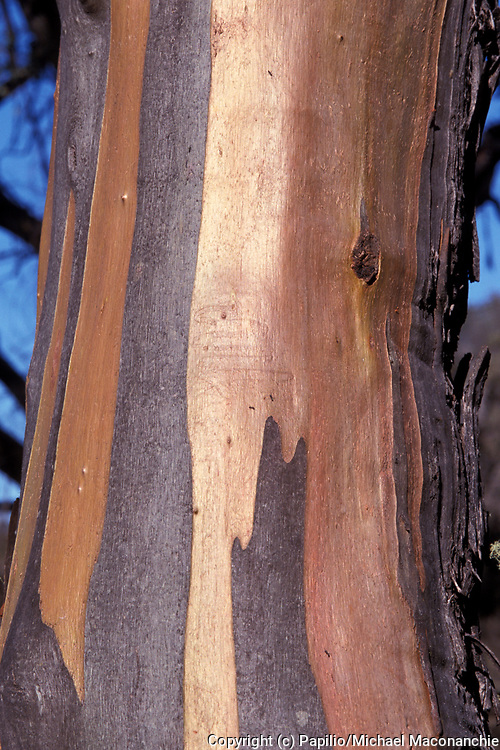 Snow Gum Tree, Eucalyptus pauciflora, Australia, close up of trunk and bark