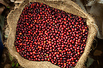 Bag of coffee cherries on a coffee farm on the slopes of the Santa Ana Volcano in western El Salvador..(Property Released)