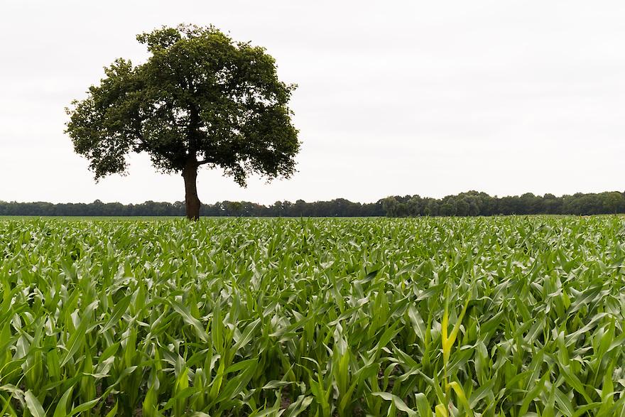 Nederland, Udenhout, 14 juli  2013<br /> Typisch brabants landschap met maisakker en bomen.<br /> Foto(c): Michiel Wijnbergh