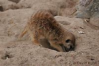 0215-08uu  Meerkat Digging Burrow, Suricata suricatta © David Kuhn/Dwight Kuhn Photography